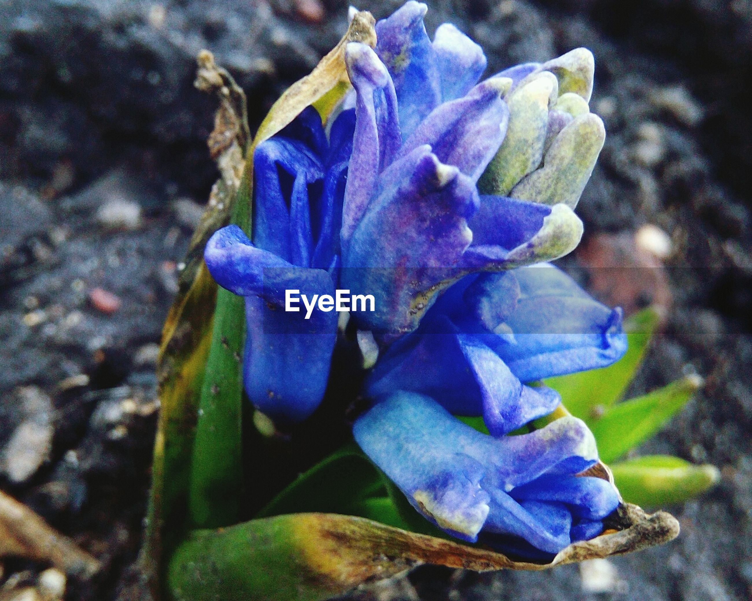 flower, flowering plant, plant, beauty in nature, petal, fragility, purple, close-up, inflorescence, vulnerability, growth, flower head, freshness, nature, blue, no people, day, focus on foreground, selective focus, iris, outdoors