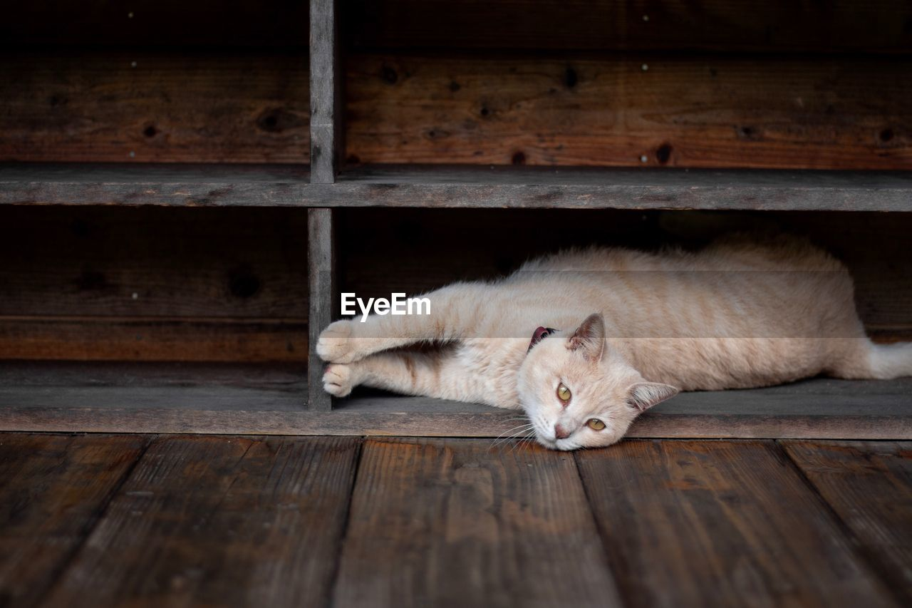 Portrait of cat lying on wooden floor