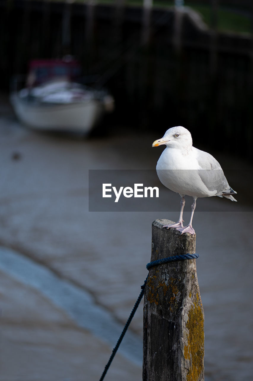 SEAGULL PERCHING ON WOODEN POST IN WATER