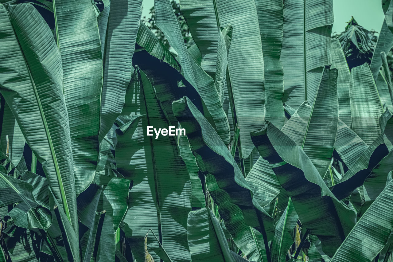 backgrounds, full frame, green color, no people, large group of objects, close-up, leaf, pattern, textile, day, textured, plant part, nature, still life, banana leaf, outdoors, abundance, stack, beauty in nature, leaves