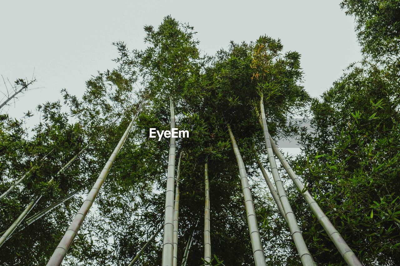 tree, plant, growth, low angle view, beauty in nature, forest, nature, green color, land, no people, day, tall - high, sky, outdoors, tranquility, bamboo grove, scenics - nature, bamboo, bamboo - plant, clear sky