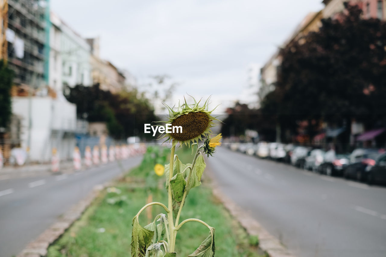 flowering plant, plant, flower, focus on foreground, city, road, fragility, nature, transportation, growth, vulnerability, close-up, architecture, freshness, street, day, beauty in nature, building exterior, no people, built structure, flower head, outdoors