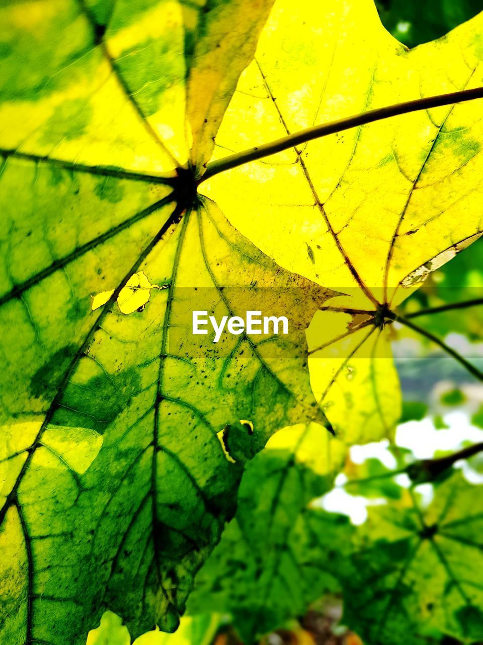 plant, plant part, leaf, yellow, close-up, no people, green color, growth, nature, day, beauty in nature, focus on foreground, outdoors, full frame, backgrounds, freshness, fragility, vulnerability, selective focus, tree, maple leaf, raindrop