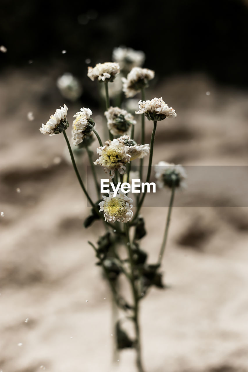 flower, flowering plant, fragility, vulnerability, plant, beauty in nature, growth, close-up, freshness, focus on foreground, nature, flower head, no people, selective focus, inflorescence, day, petal, field, white color, plant stem, outdoors, wilted plant