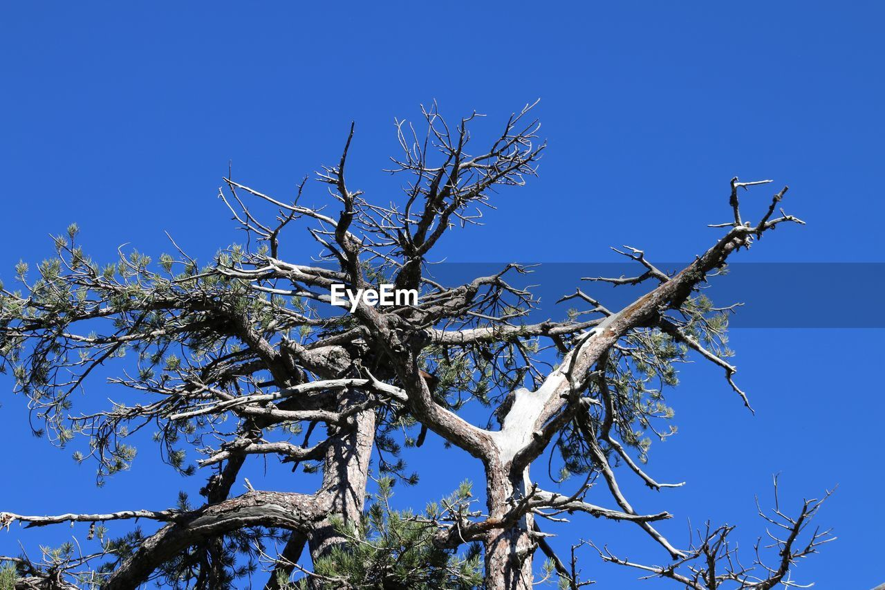 plant, tree, sky, blue, clear sky, branch, low angle view, no people, nature, day, beauty in nature, bare tree, tranquility, outdoors, growth, sunlight, scenics - nature, dead plant, cold temperature, winter
