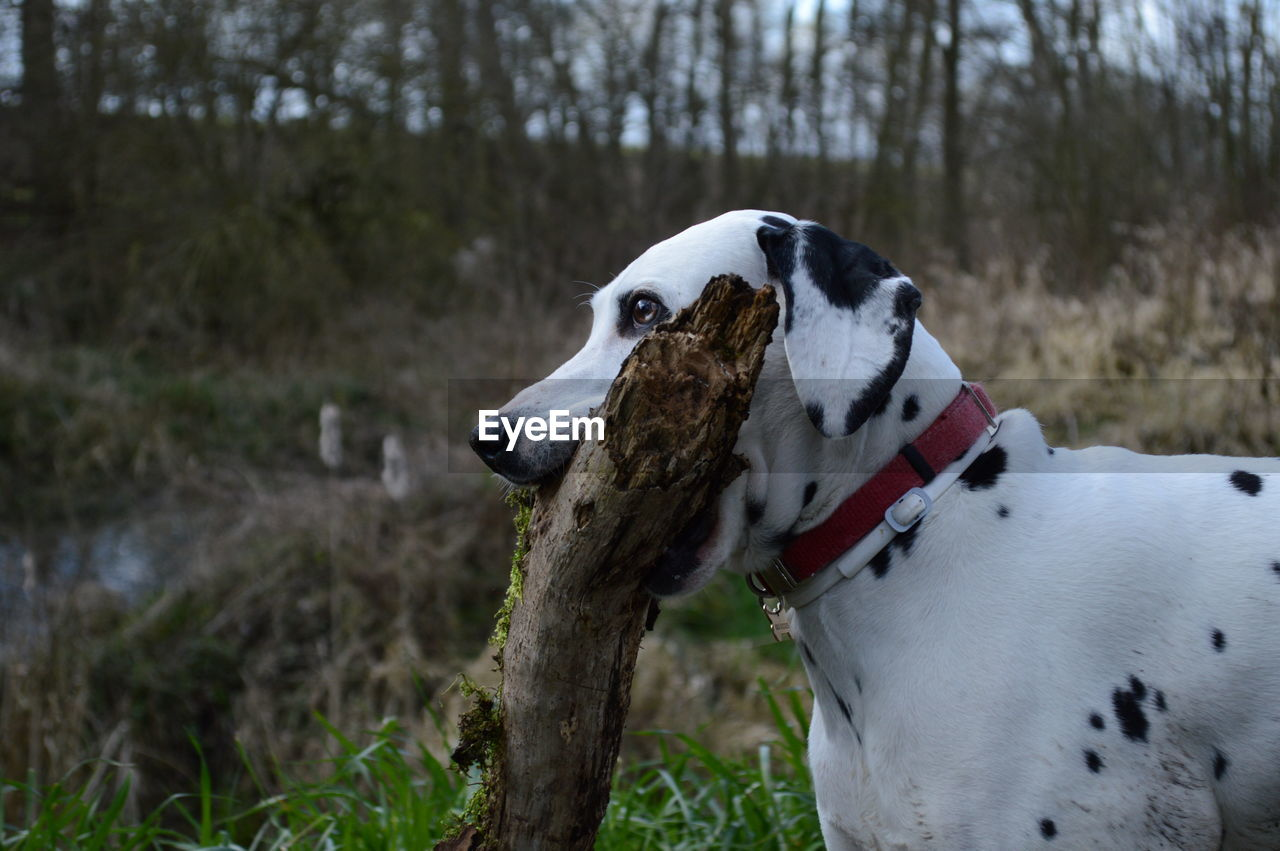 Dalmatian Carrying Branch On Mouth On Field