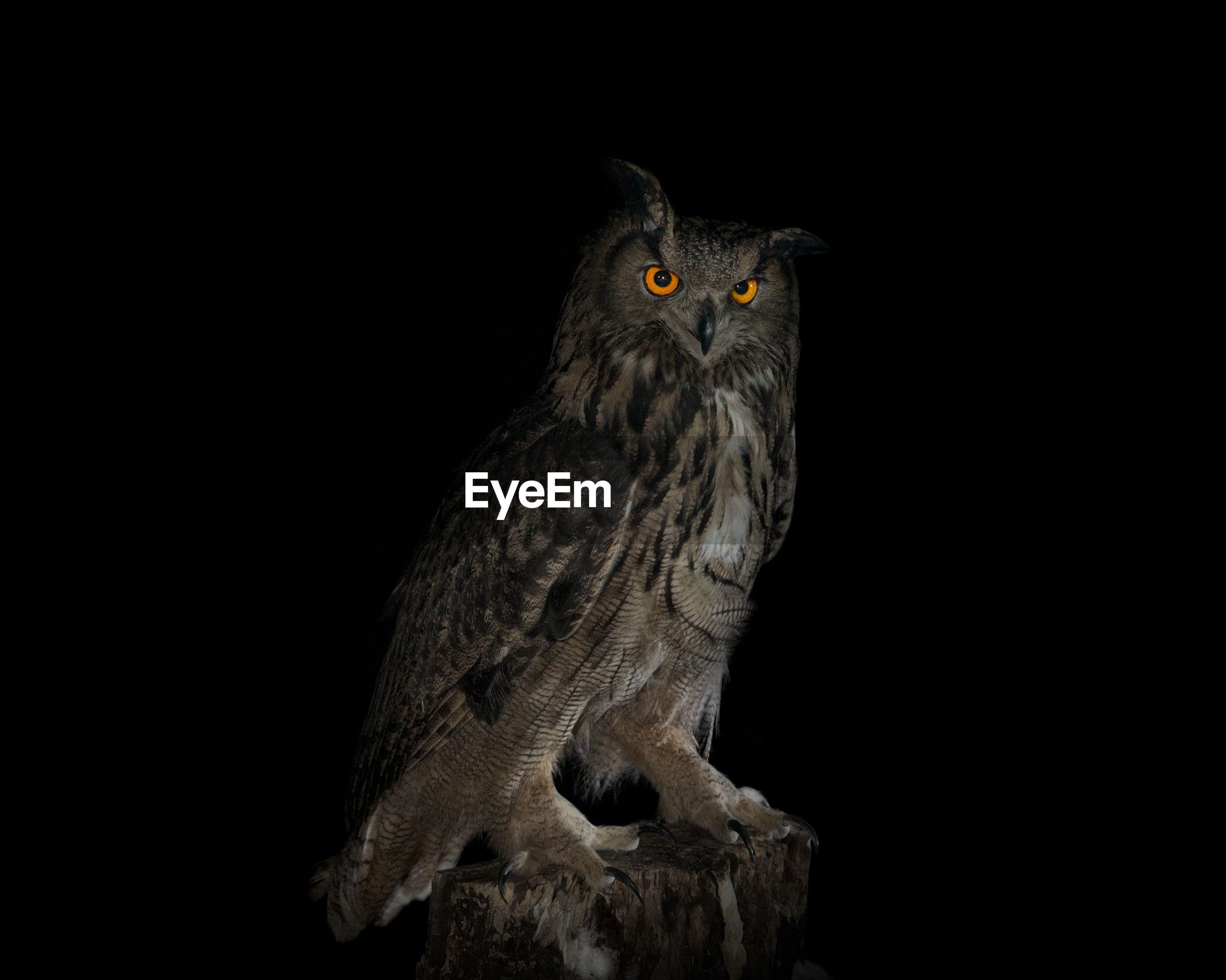 Portrait of eagle owl on wood at night