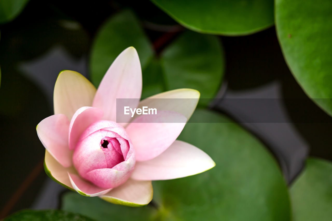 flower, flowering plant, plant, petal, vulnerability, fragility, pink color, freshness, flower head, beauty in nature, close-up, inflorescence, growth, nature, no people, focus on foreground, leaf, day, plant part, pollen, lotus water lily