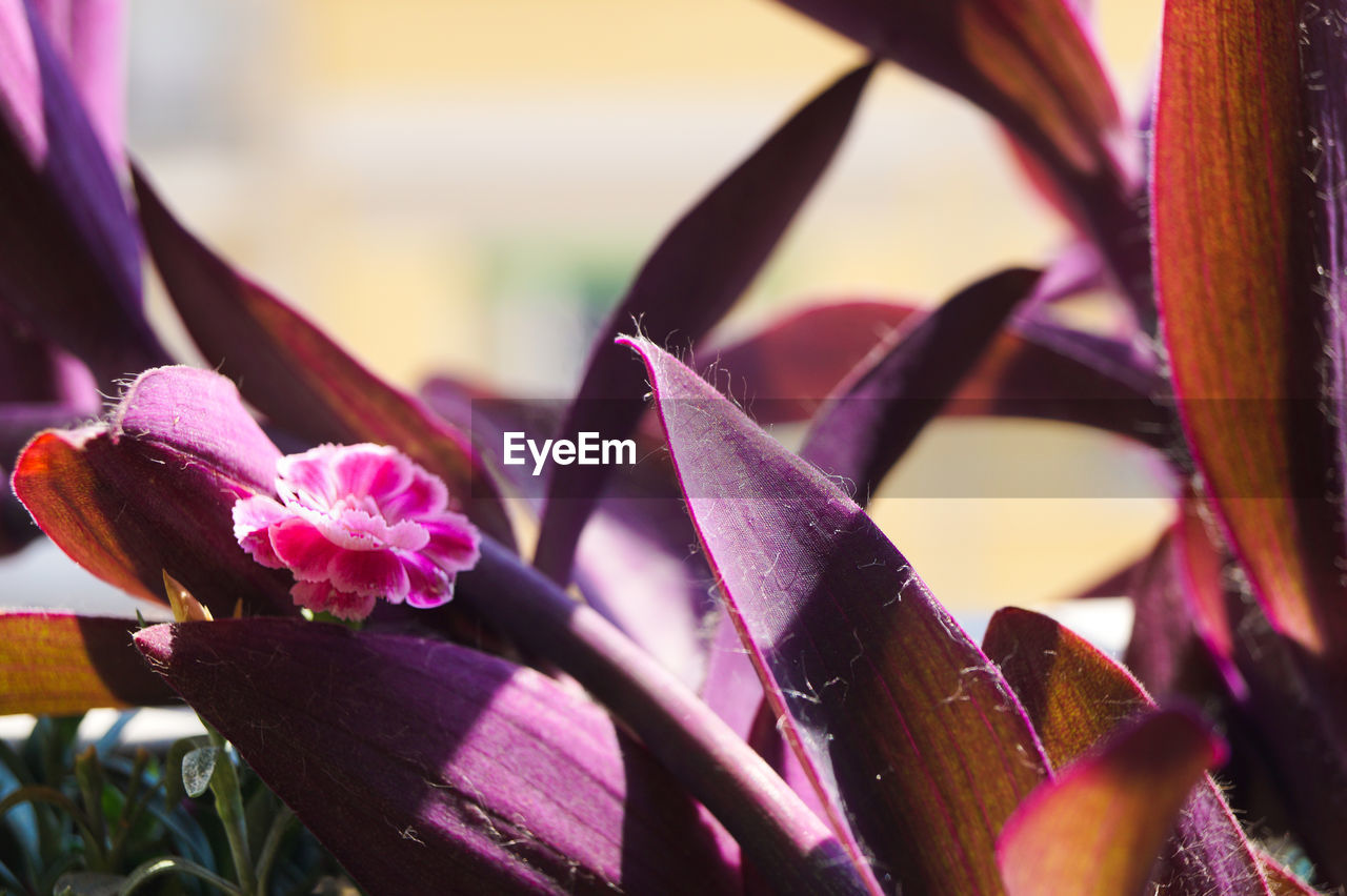 flowering plant, plant, flower, freshness, close-up, beauty in nature, growth, petal, vulnerability, nature, pink color, fragility, no people, flower head, purple, selective focus, day, inflorescence, focus on foreground, plant part, outdoors
