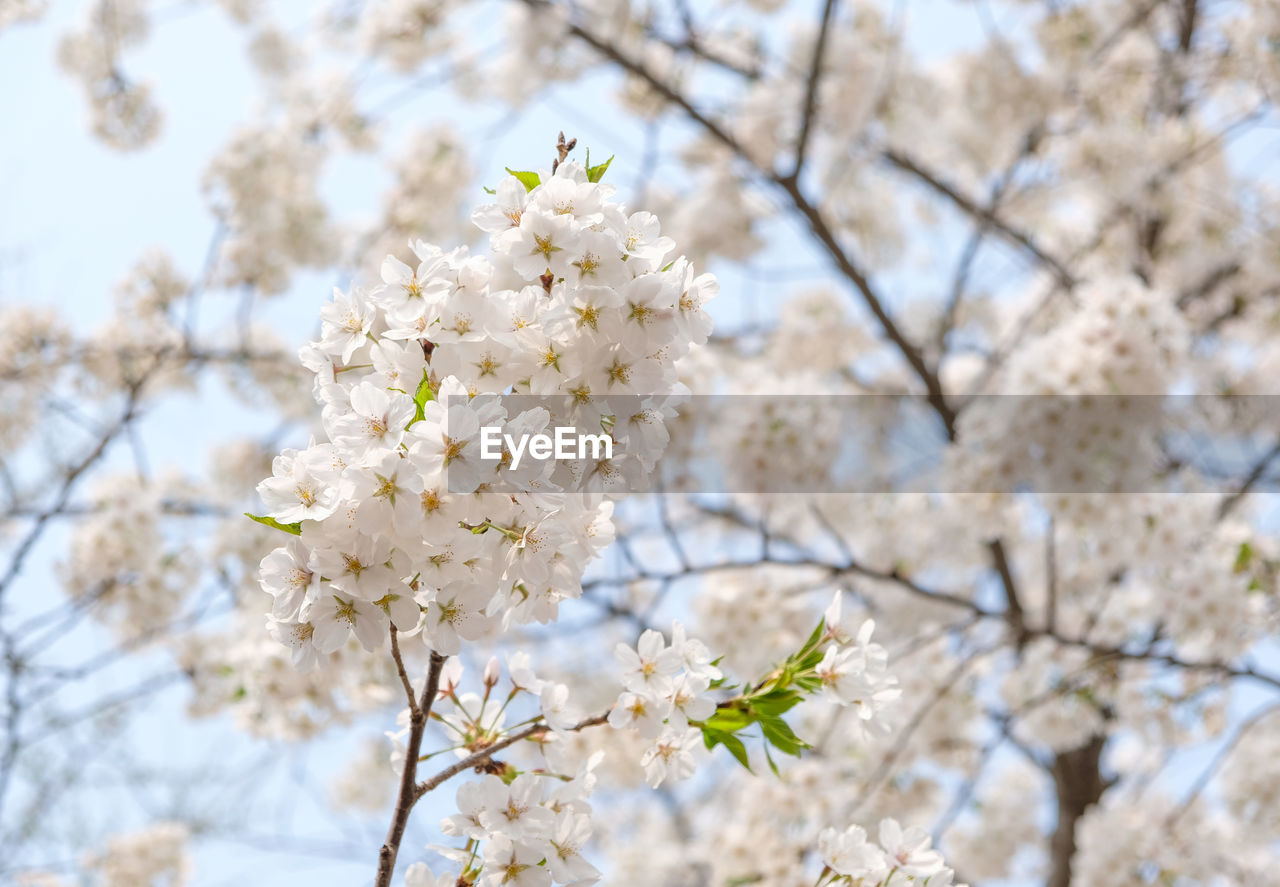 fragility, plant, vulnerability, flower, flowering plant, freshness, tree, beauty in nature, branch, blossom, low angle view, nature, growth, white color, cherry blossom, day, close-up, no people, springtime, twig, cherry tree, flower head, outdoors, pollen, bunch of flowers, spring