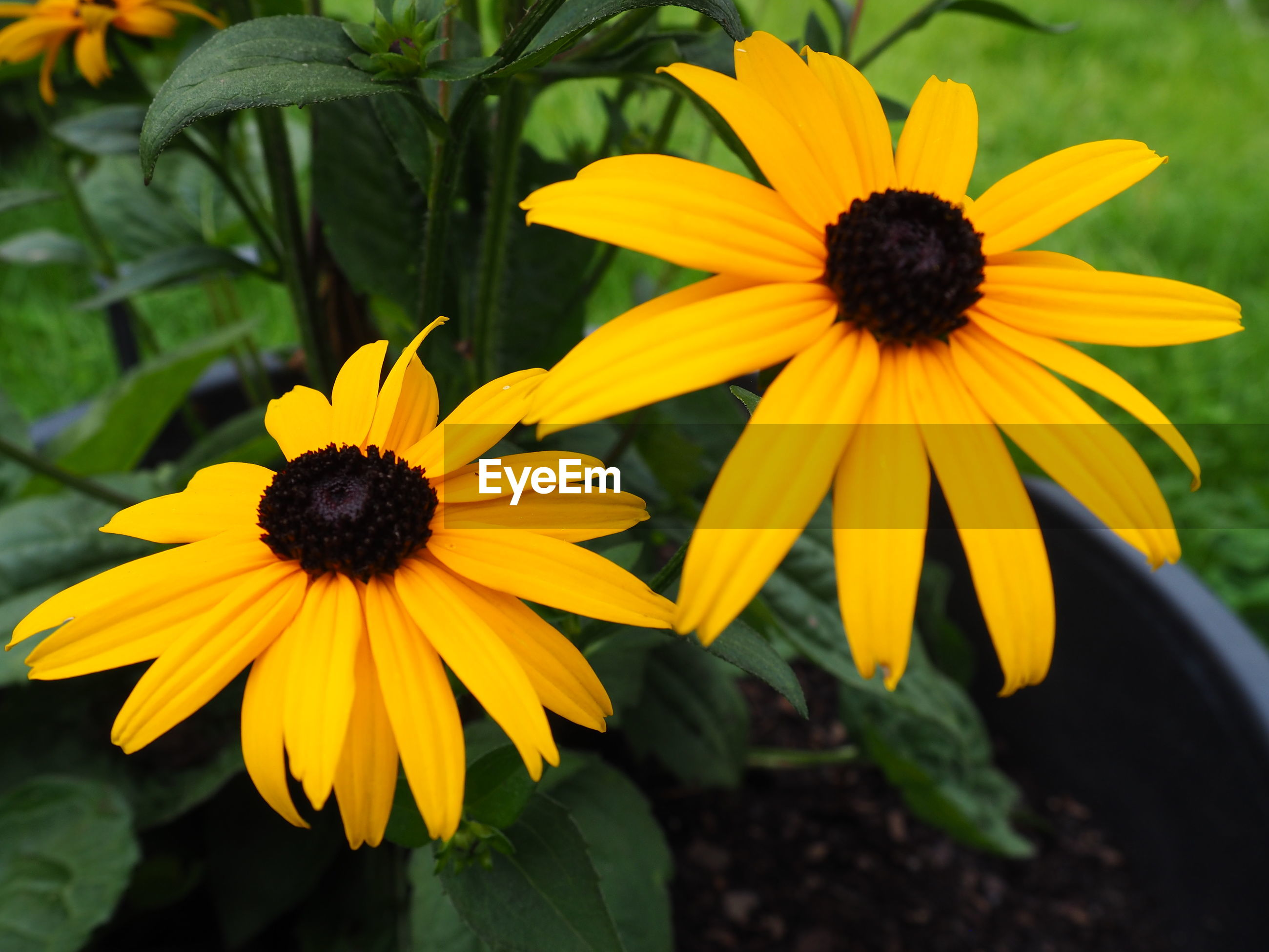 CLOSE-UP OF BLACK-EYED YELLOW FLOWER