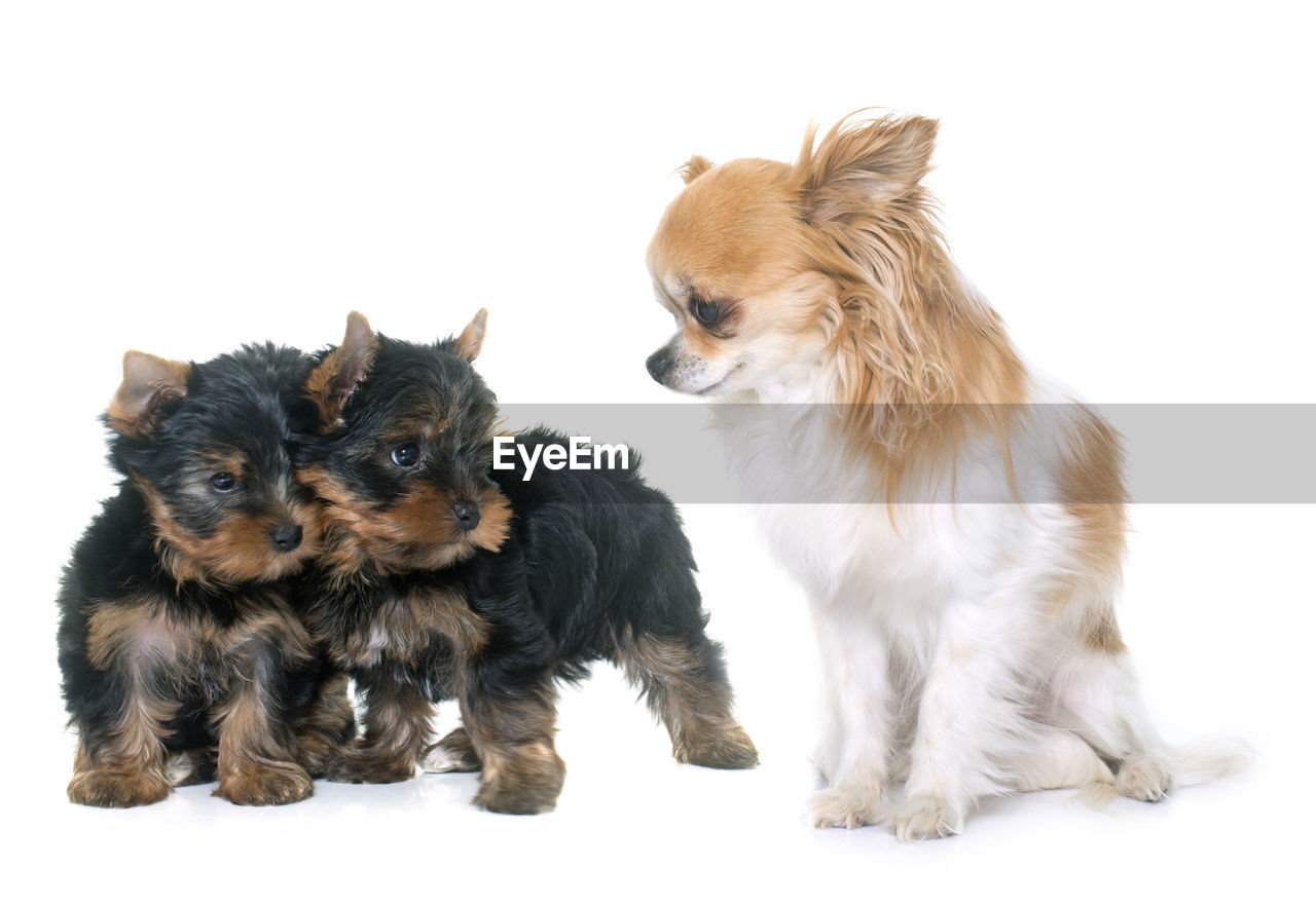 domestic, domestic animals, pets, animal themes, mammal, canine, dog, animal, studio shot, group of animals, white background, two animals, lap dog, vertebrate, indoors, no people, cut out, cute, small, chihuahua - dog, animal family