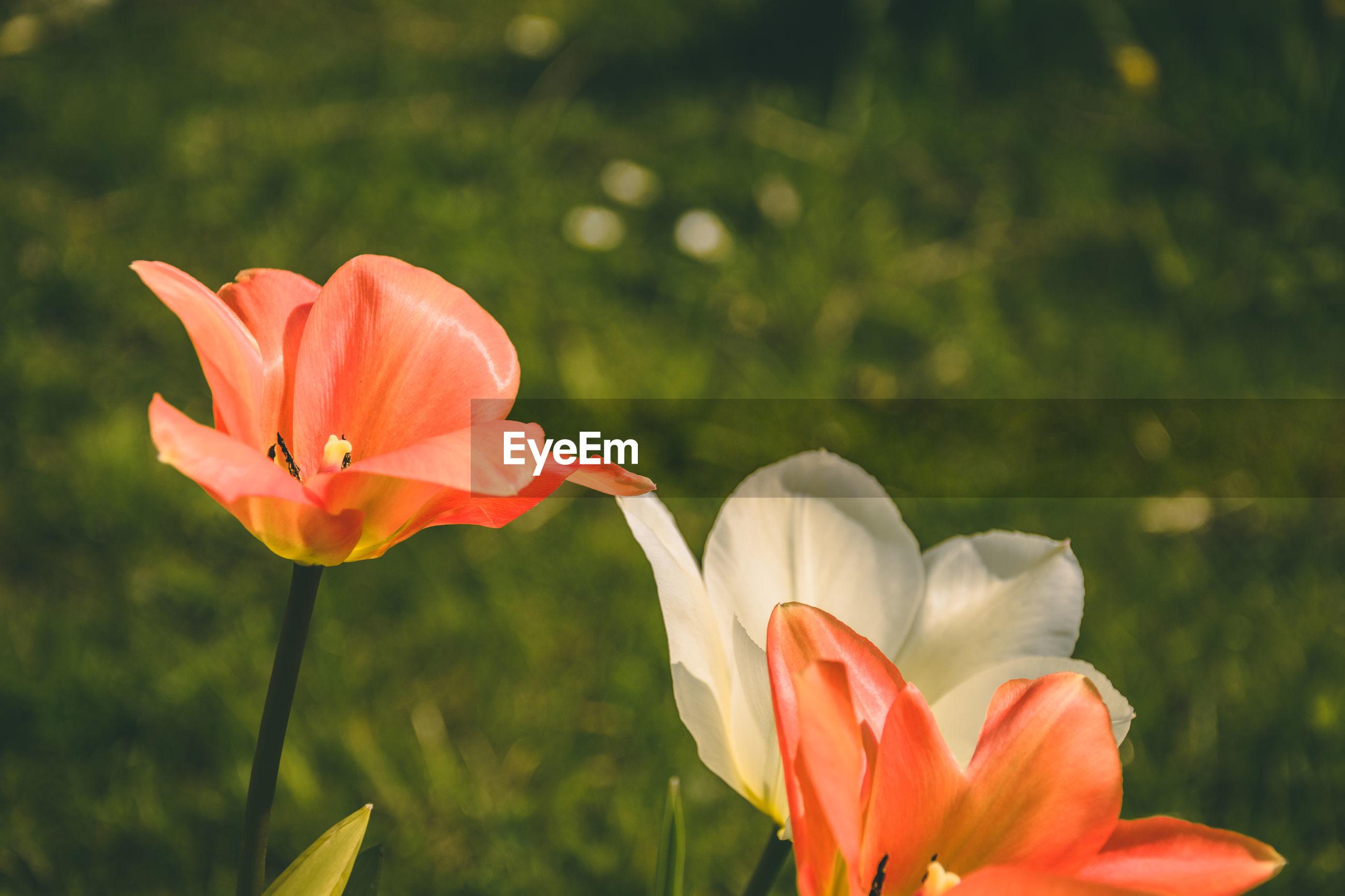 CLOSE-UP OF ORANGE ROSE FLOWER ON FIELD