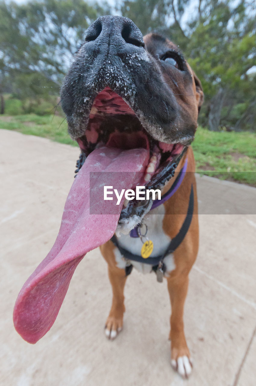 one animal, canine, dog, animal themes, animal, mammal, domestic animals, pets, domestic, no people, close-up, vertebrate, day, sticking out tongue, focus on foreground, animal body part, facial expression, animal tongue, footpath, mouth, mouth open, animal mouth, panting