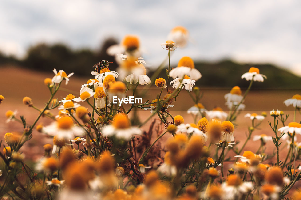 flower, nature, growth, beauty in nature, plant, fragility, petal, selective focus, freshness, field, no people, blooming, flower head, outdoors, tranquility, yellow, day, close-up, sky