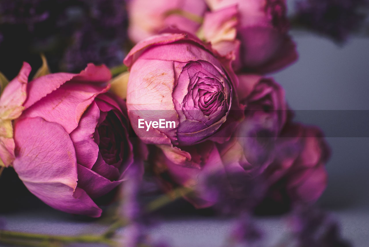 flower, flowering plant, petal, freshness, beauty in nature, plant, vulnerability, fragility, close-up, inflorescence, flower head, growth, no people, nature, focus on foreground, pink color, rose, selective focus, rose - flower, day, purple, wilted plant, maroon