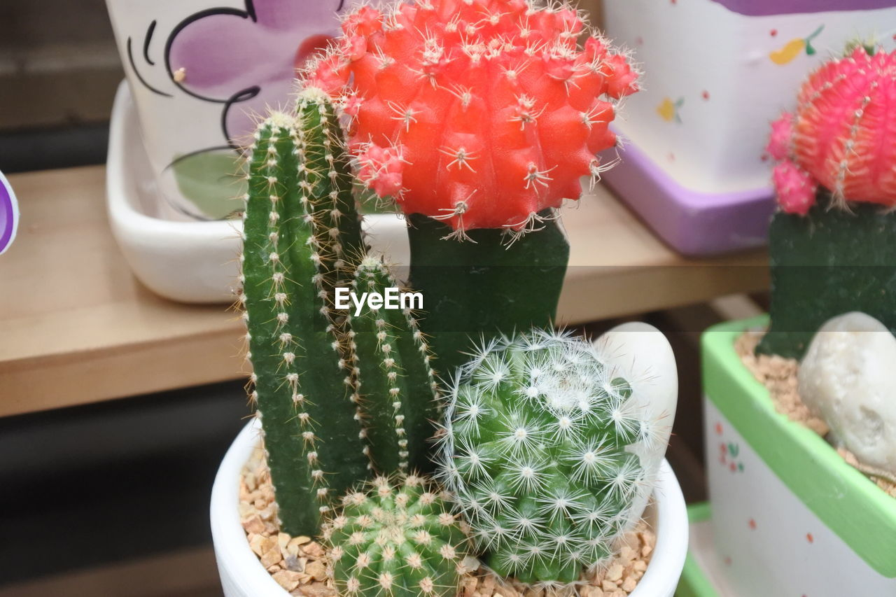 succulent plant, cactus, plant, green color, potted plant, flowering plant, flower, growth, close-up, no people, freshness, indoors, nature, thorn, beauty in nature, high angle view, decoration, day, spiked, still life, flower pot, houseplant