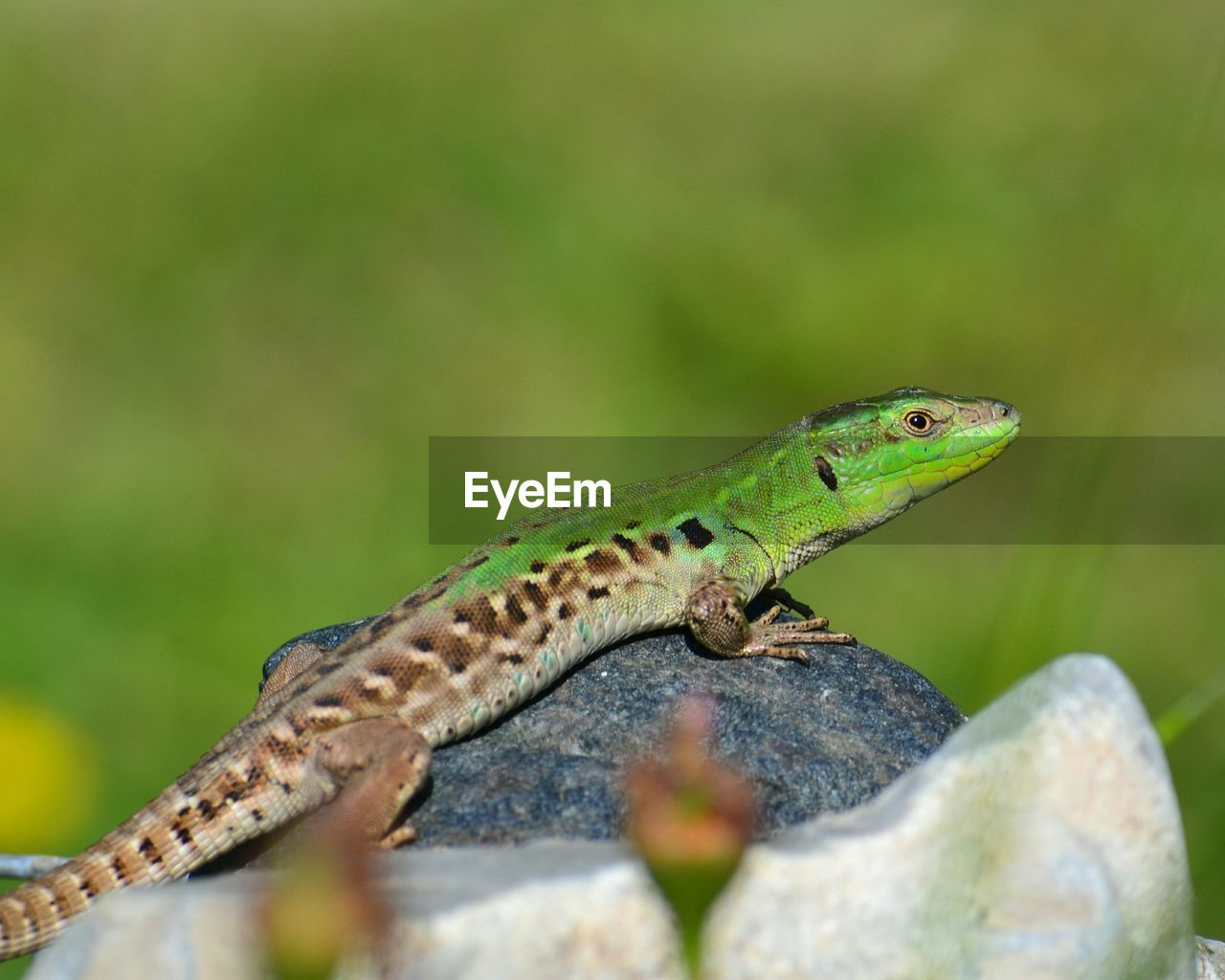 one animal, animal themes, animals in the wild, animal, animal wildlife, vertebrate, reptile, green color, lizard, selective focus, no people, close-up, day, solid, nature, rock - object, rock, outdoors, looking away, animal body part, animal head, animal scale, animal eye