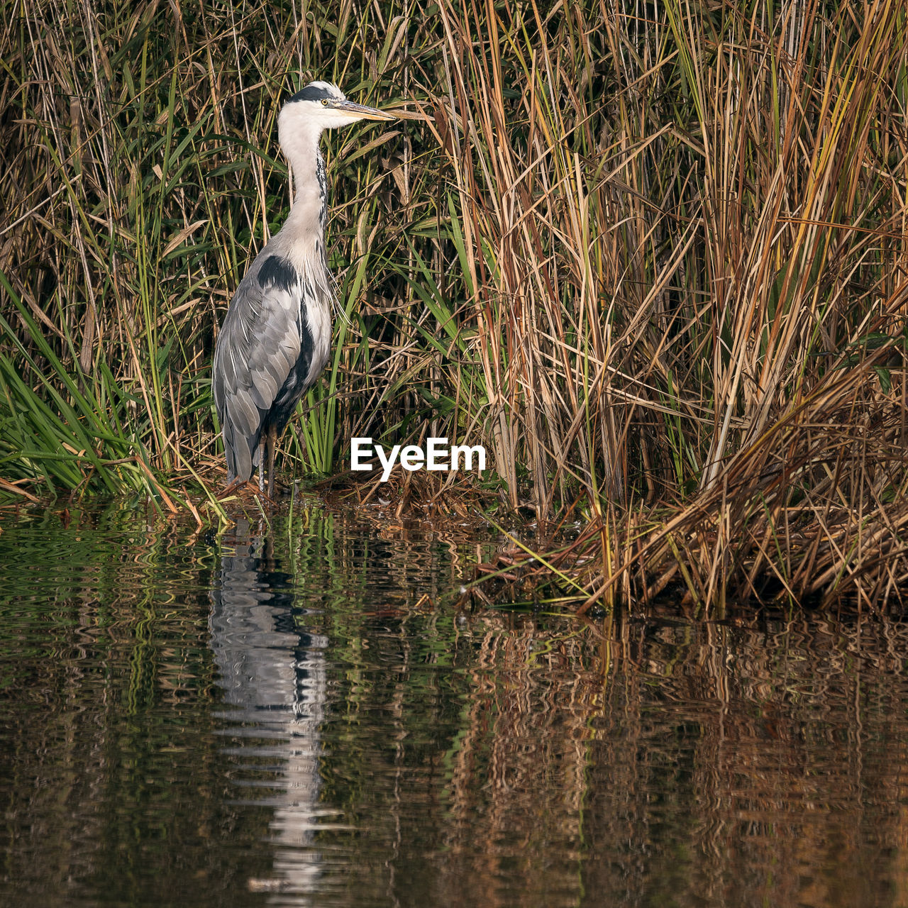 animal themes, animal wildlife, bird, animal, animals in the wild, one animal, vertebrate, water, heron, reflection, water bird, gray heron, lake, plant, nature, no people, perching, day, great blue heron, outdoors