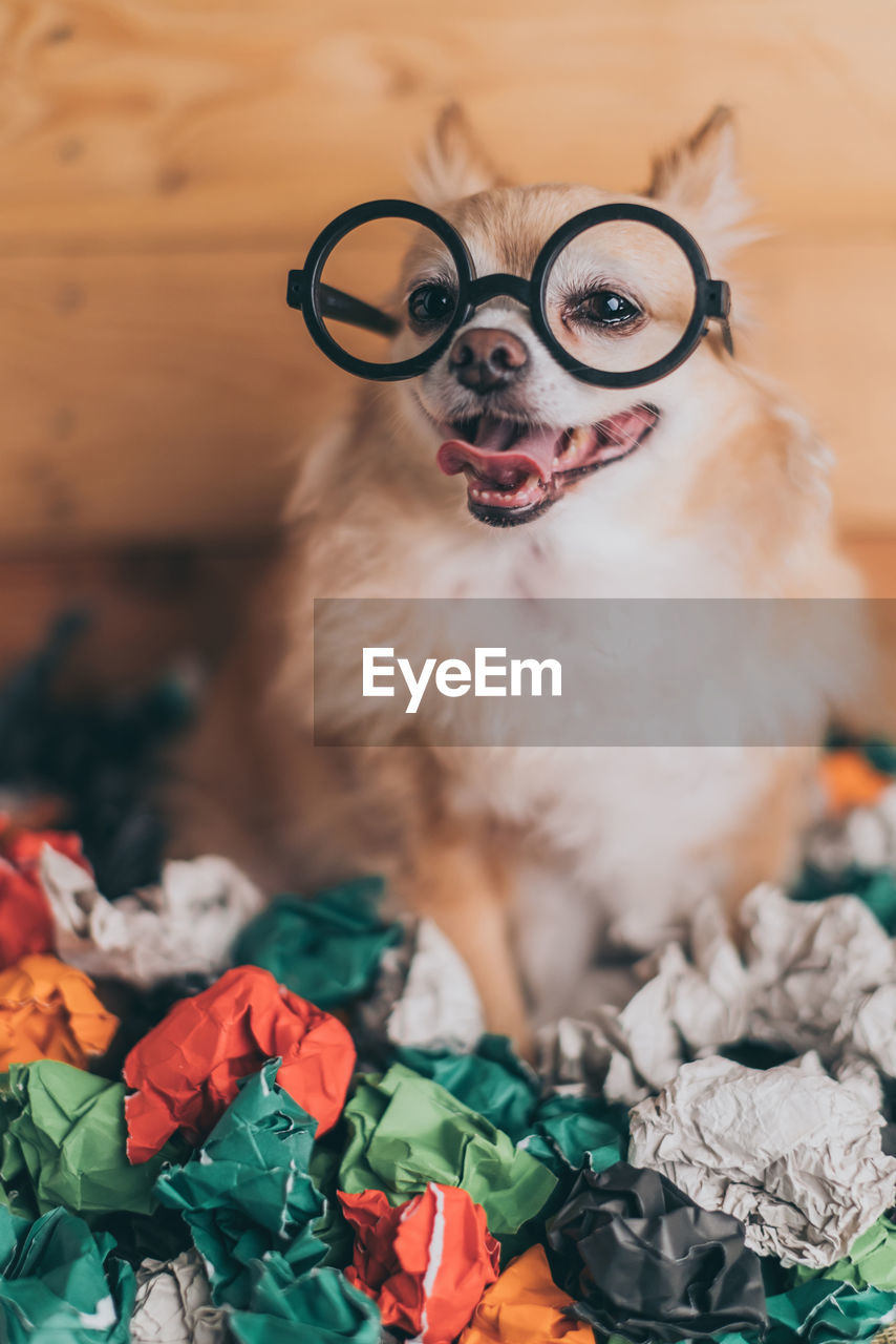 domestic, domestic animals, pets, dog, canine, mammal, one animal, indoors, no people, eyeglasses, glasses, vertebrate, looking at camera, portrait, close-up, bed, focus on foreground, mouth open