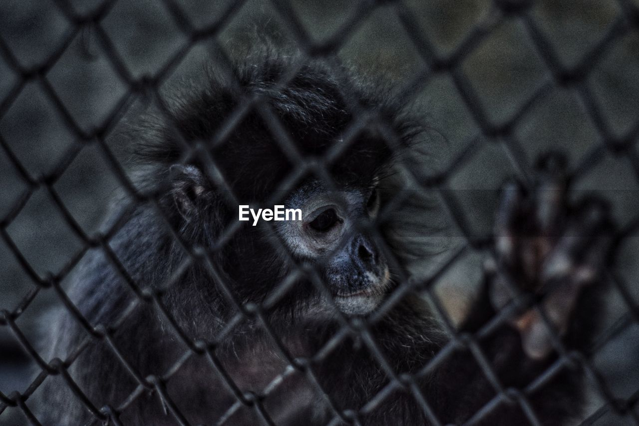 animal themes, monkey, primate, one animal, animal, mammal, fence, animal wildlife, animals in captivity, chainlink fence, cage, boundary, barrier, close-up, no people, animals in the wild, security, vertebrate, protection, animal body part, zoo, animal head