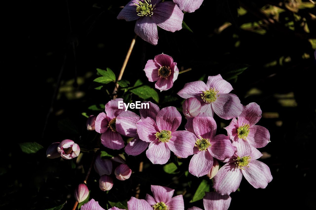 flowering plant, flower, plant, vulnerability, fragility, freshness, beauty in nature, petal, pink color, growth, flower head, close-up, inflorescence, nature, no people, botany, day, leaf, outdoors, plant part, springtime, purple, bunch of flowers