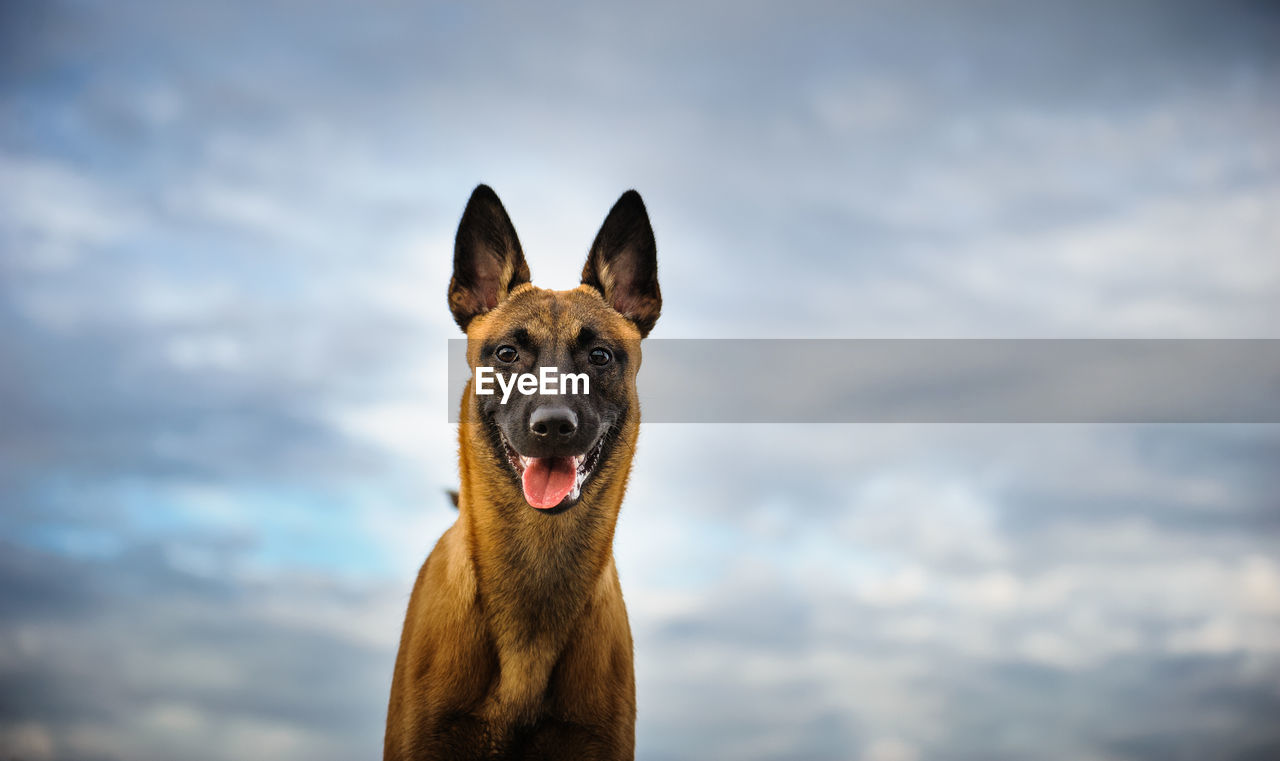 Portrait of malinois dog against cloudy sky