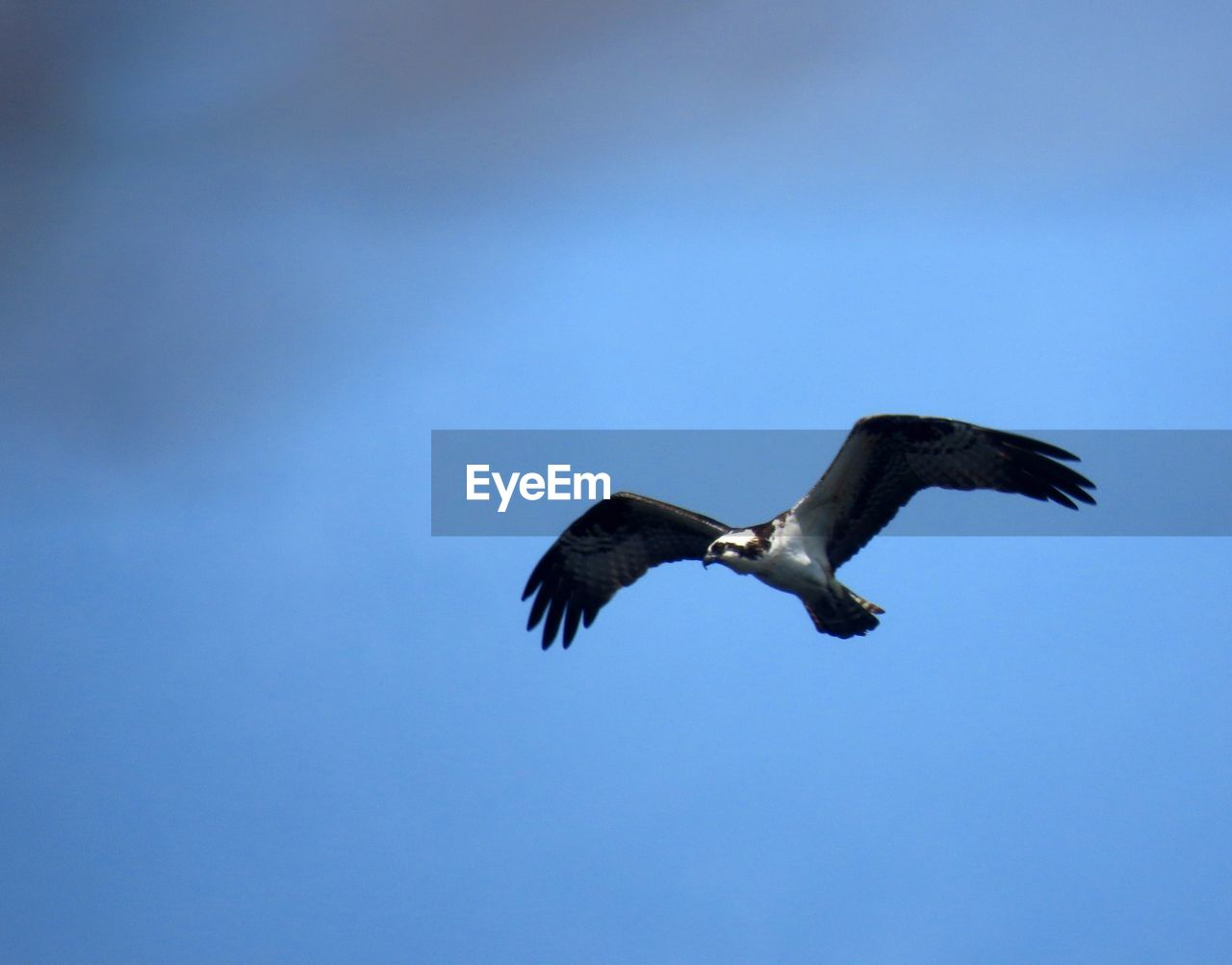 vertebrate, animals in the wild, animal, animal wildlife, bird, flying, animal themes, spread wings, sky, low angle view, one animal, blue, no people, day, clear sky, nature, mid-air, motion, copy space, outdoors, eagle