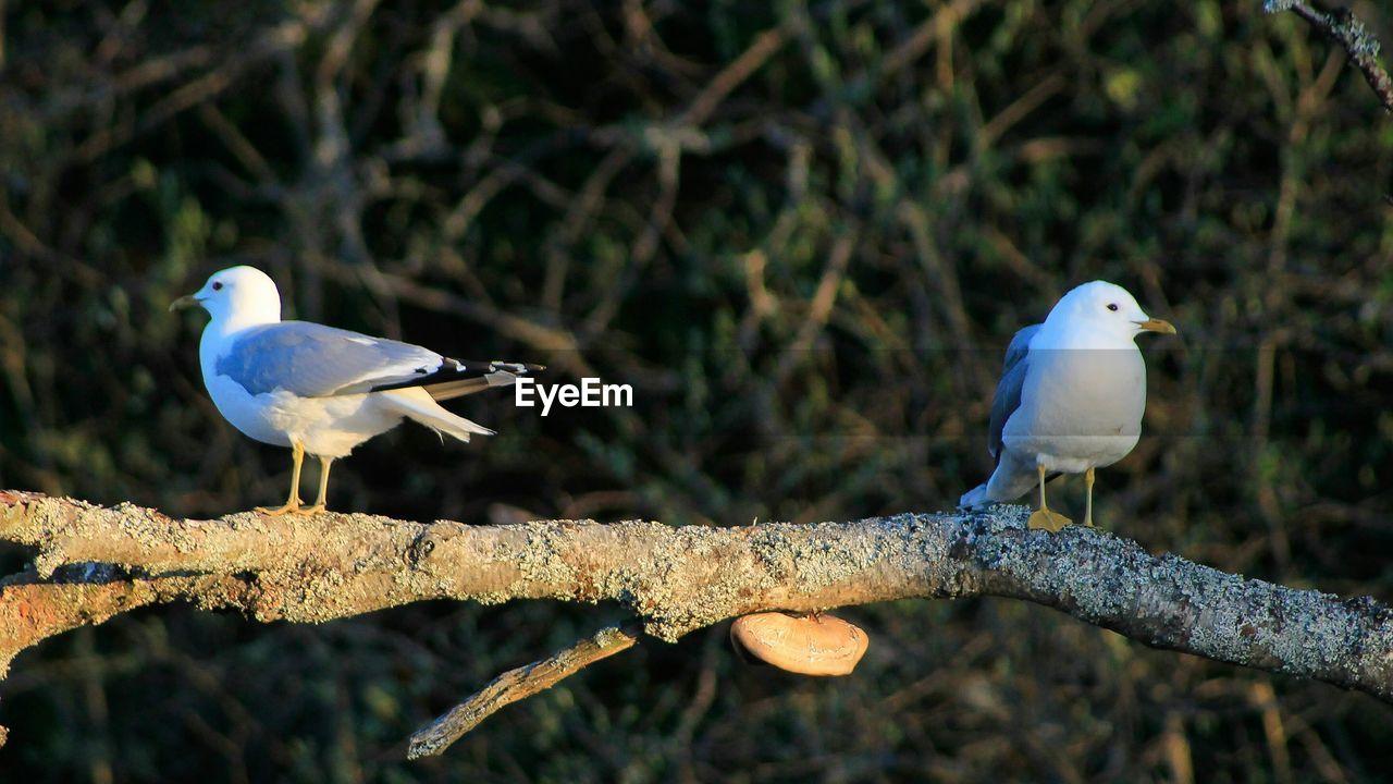 Seagulls perching on branch