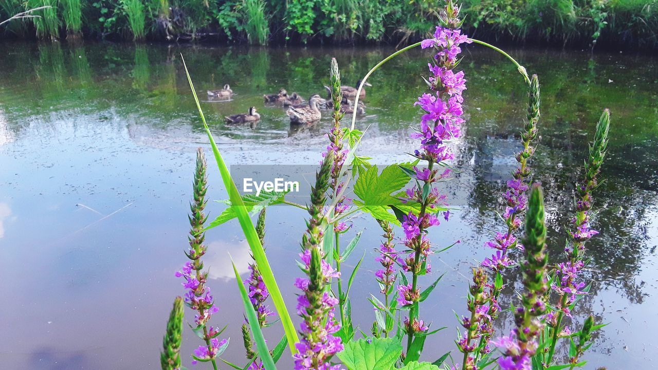 plant, water, flower, flowering plant, beauty in nature, growth, lake, nature, freshness, tranquility, day, no people, vulnerability, fragility, reflection, purple, pink color, outdoors, floating on water