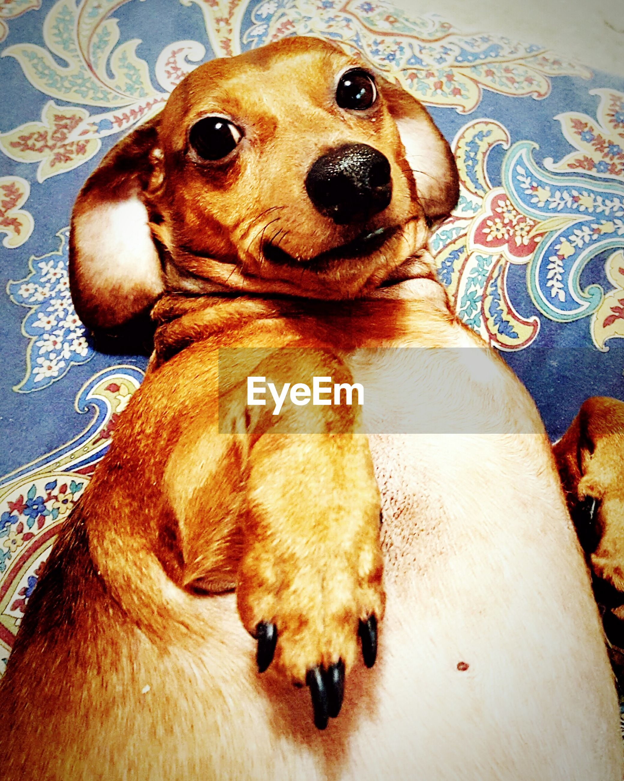 dog, indoors, animal themes, pets, domestic animals, mammal, one animal, brown, high angle view, portrait, looking at camera, relaxation, close-up, home interior, bed, lying down, toy, no people, resting, animal representation