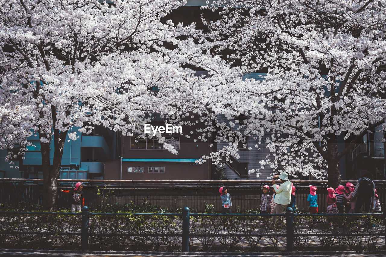 plant, tree, blossom, flower, nature, growth, freshness, architecture, built structure, cherry blossom, springtime, building exterior, fragility, flowering plant, cherry tree, day, beauty in nature, branch, transportation, outdoors