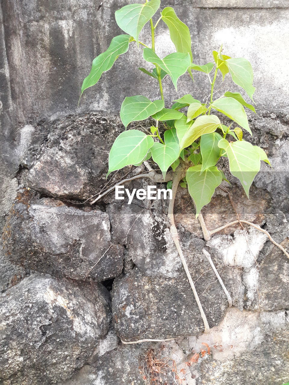 leaf, plant part, growth, plant, nature, green color, no people, wall - building feature, day, rock, close-up, solid, rock - object, outdoors, beauty in nature, textured, high angle view, built structure, wall, architecture, stone wall, concrete