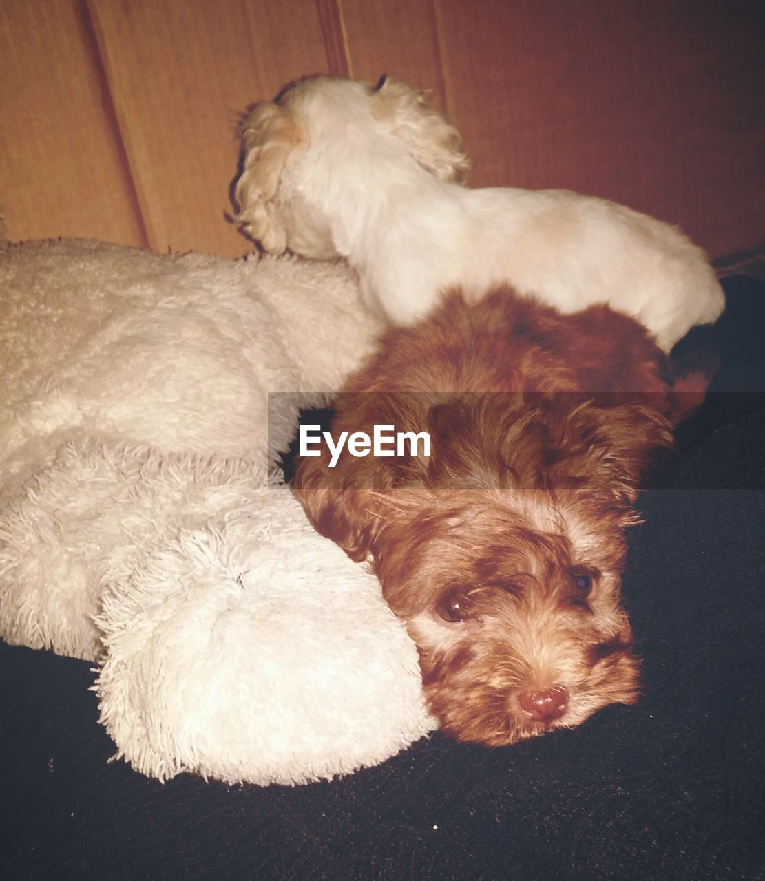 dog, pets, domestic animals, mammal, animal themes, one animal, indoors, animal hair, sleeping, lying down, relaxation, puppy, no people, close-up, day