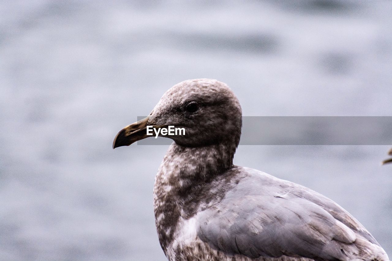 bird, one animal, animal themes, animals in the wild, animal wildlife, animal, vertebrate, focus on foreground, day, close-up, no people, nature, beak, outdoors, looking away, looking, water, beauty in nature, animal head, zoology, seagull