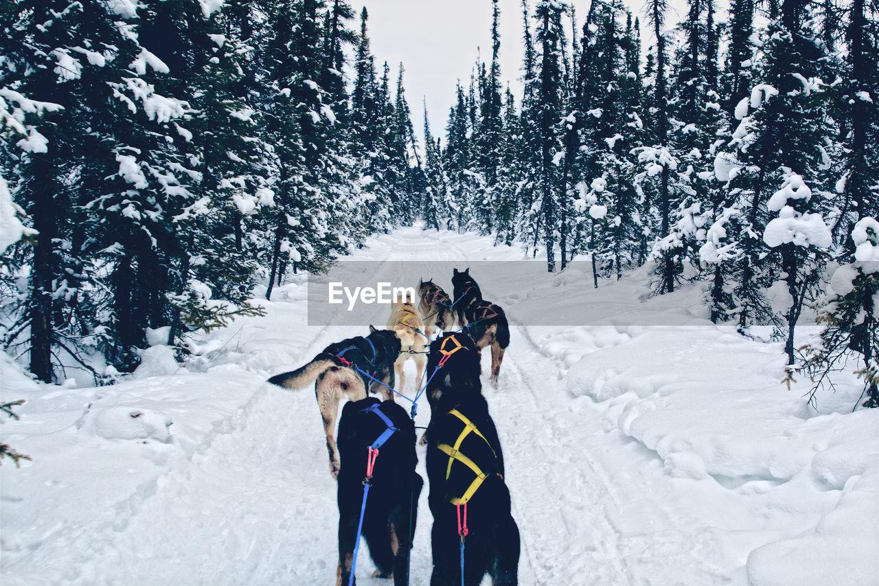 Sled dogs on snowy road amidst trees