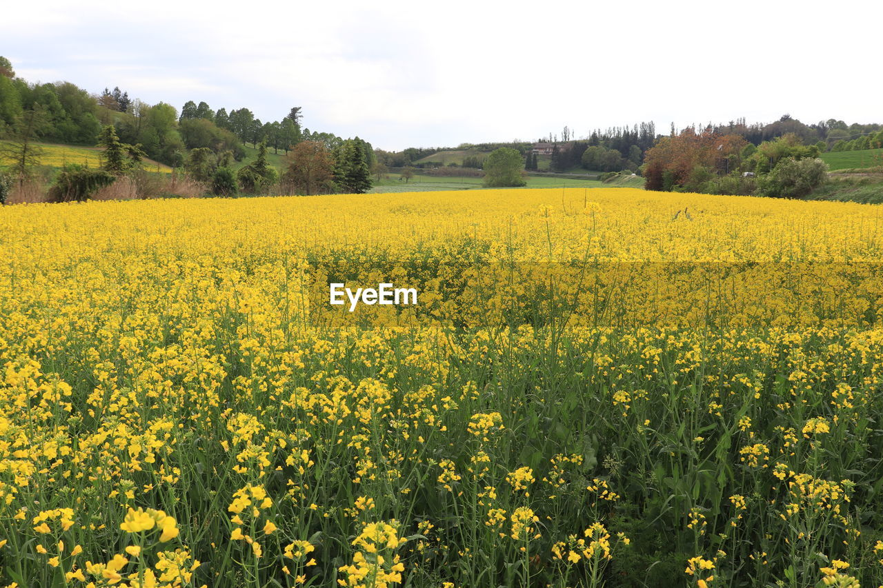 yellow, beauty in nature, growth, flower, plant, field, scenics - nature, flowering plant, agriculture, landscape, tranquility, nature, land, environment, oilseed rape, sky, tranquil scene, freshness, rural scene, day, no people, springtime