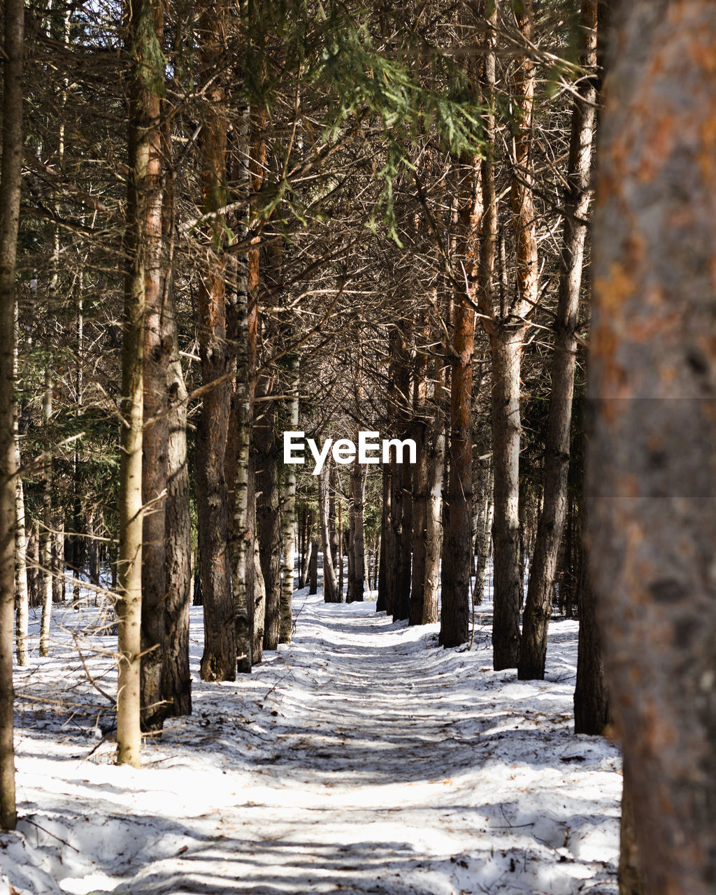 tree, forest, land, trunk, plant, tree trunk, snow, cold temperature, winter, nature, tranquility, woodland, no people, direction, outdoors, day, beauty in nature, tranquil scene, the way forward, treelined