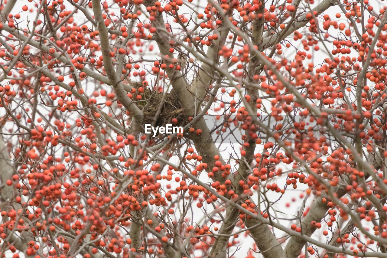 tree, plant, fruit, branch, growth, food, food and drink, healthy eating, day, red, nature, no people, berry fruit, freshness, close-up, full frame, outdoors, focus on foreground, beauty in nature, winter, ripe