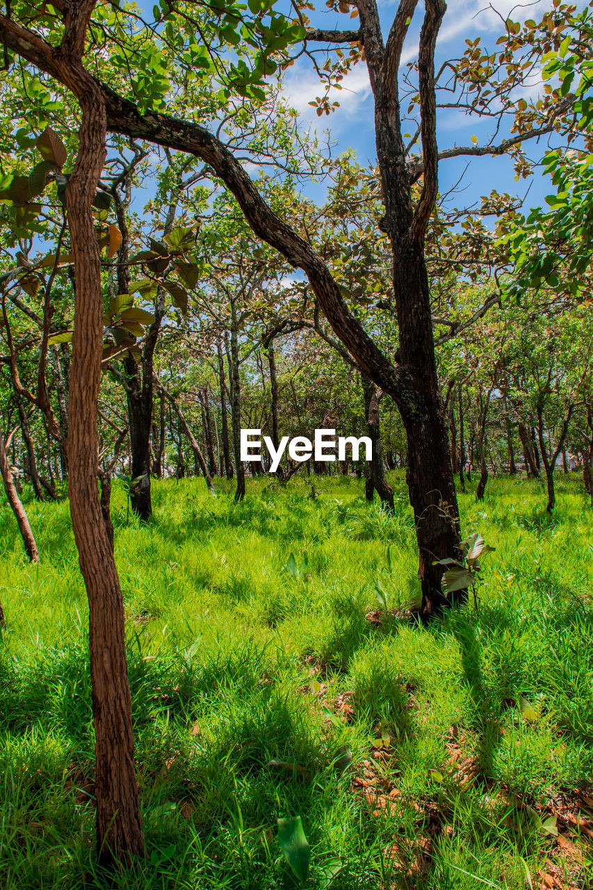 plant, tree, growth, land, green color, grass, beauty in nature, tranquility, tree trunk, trunk, nature, tranquil scene, no people, scenics - nature, forest, day, outdoors, field, lush foliage, non-urban scene, woodland