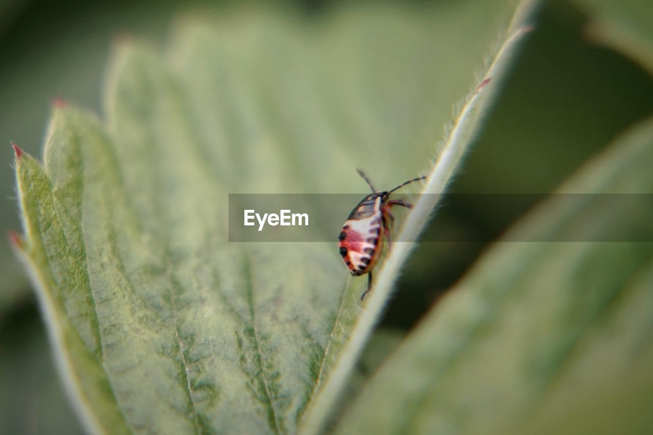 insect, invertebrate, one animal, animal, animal themes, animal wildlife, animals in the wild, selective focus, close-up, plant part, plant, beetle, leaf, day, no people, nature, green color, ladybug, growth, outdoors, small