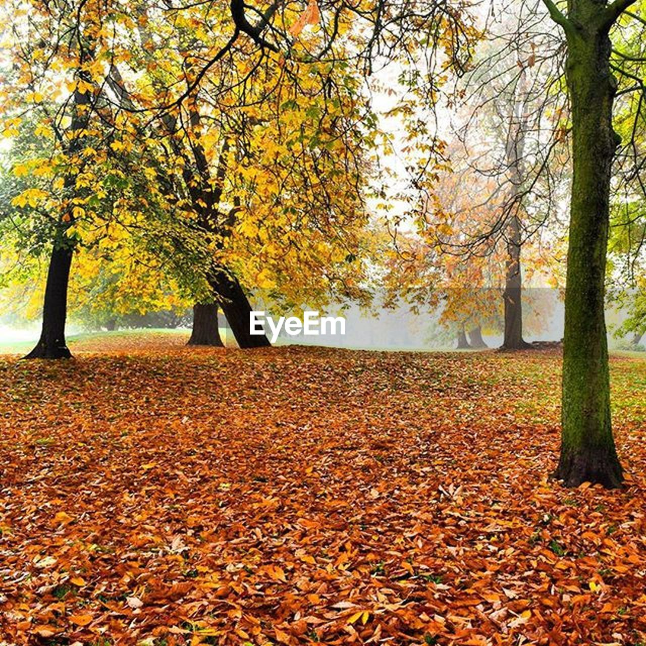 change, autumn, leaf, tree, nature, beauty in nature, leaves, scenics, fall, tranquility, orange color, dry, fallen, maple tree, maple, maple leaf, tranquil scene, environment, idyllic, forest, weather, outdoors, yellow, landscape, no people, growth, ice hockey, field, day, tree trunk, hockey, branch, deciduous tree