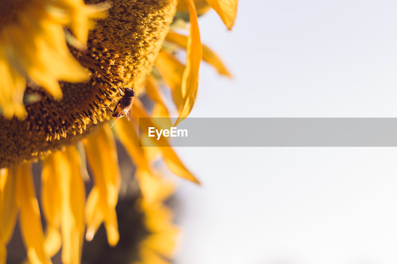 close-up, flower, petal, freshness, fragility, studio shot, no people, beauty in nature, sunflower, yellow, plant, white background, nature, flower head, growth, day, outdoors