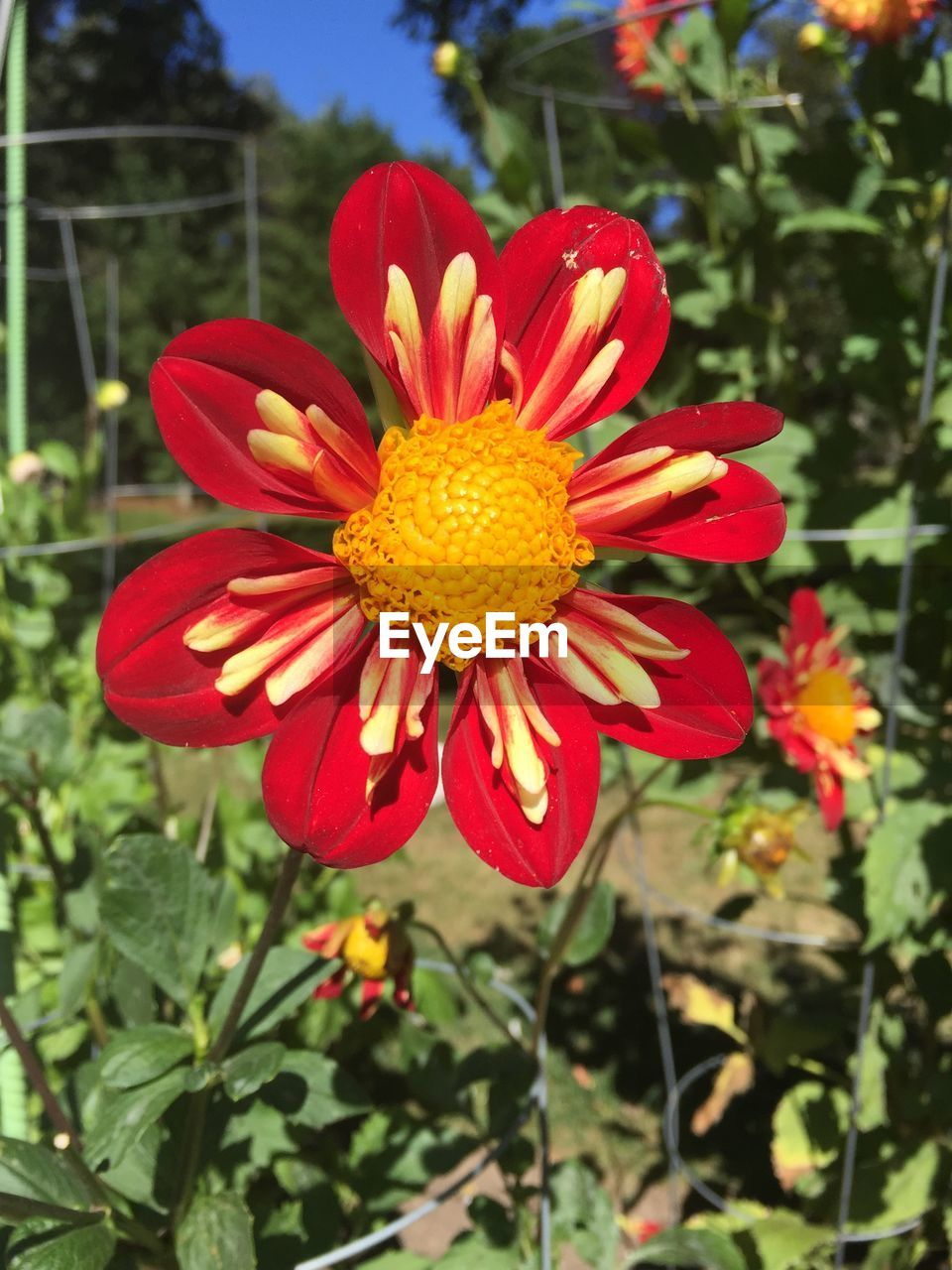 flower, petal, beauty in nature, flower head, nature, fragility, freshness, growth, plant, red, blooming, pollen, day, no people, stamen, yellow, close-up, outdoors, focus on foreground, springtime, zinnia, hibiscus