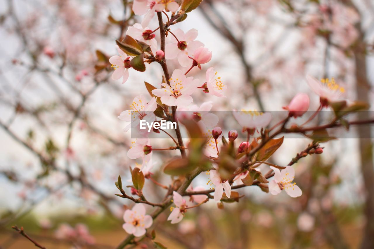 plant, flowering plant, flower, growth, freshness, tree, fragility, beauty in nature, vulnerability, blossom, springtime, branch, close-up, pink color, cherry blossom, day, nature, no people, selective focus, focus on foreground, cherry tree, outdoors, flower head, pollen, spring, bunch of flowers