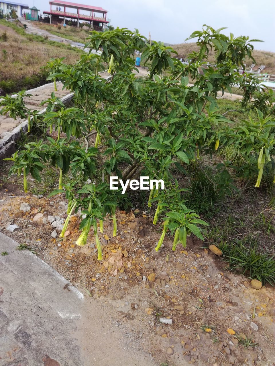 plant, growth, day, nature, green color, dirt, no people, land, field, agriculture, food, outdoors, plant part, leaf, food and drink, transportation, vegetable, freshness, organic, rural scene, plantation, gardening, surface level