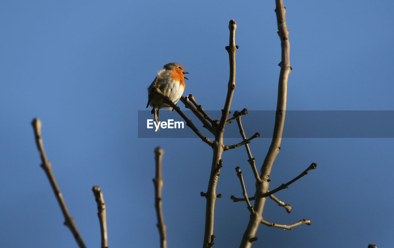 animals in the wild, animal themes, bird, animal wildlife, vertebrate, one animal, animal, perching, low angle view, tree, clear sky, branch, sky, plant, no people, nature, day, outdoors, blue, bare tree