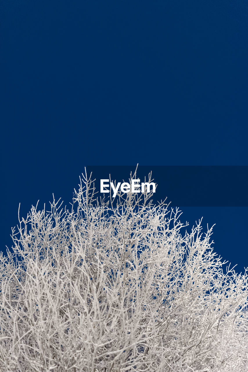sky, clear sky, plant, cold temperature, winter, copy space, blue, nature, snow, beauty in nature, no people, tranquility, day, white color, growth, frozen, close-up, outdoors, low angle view