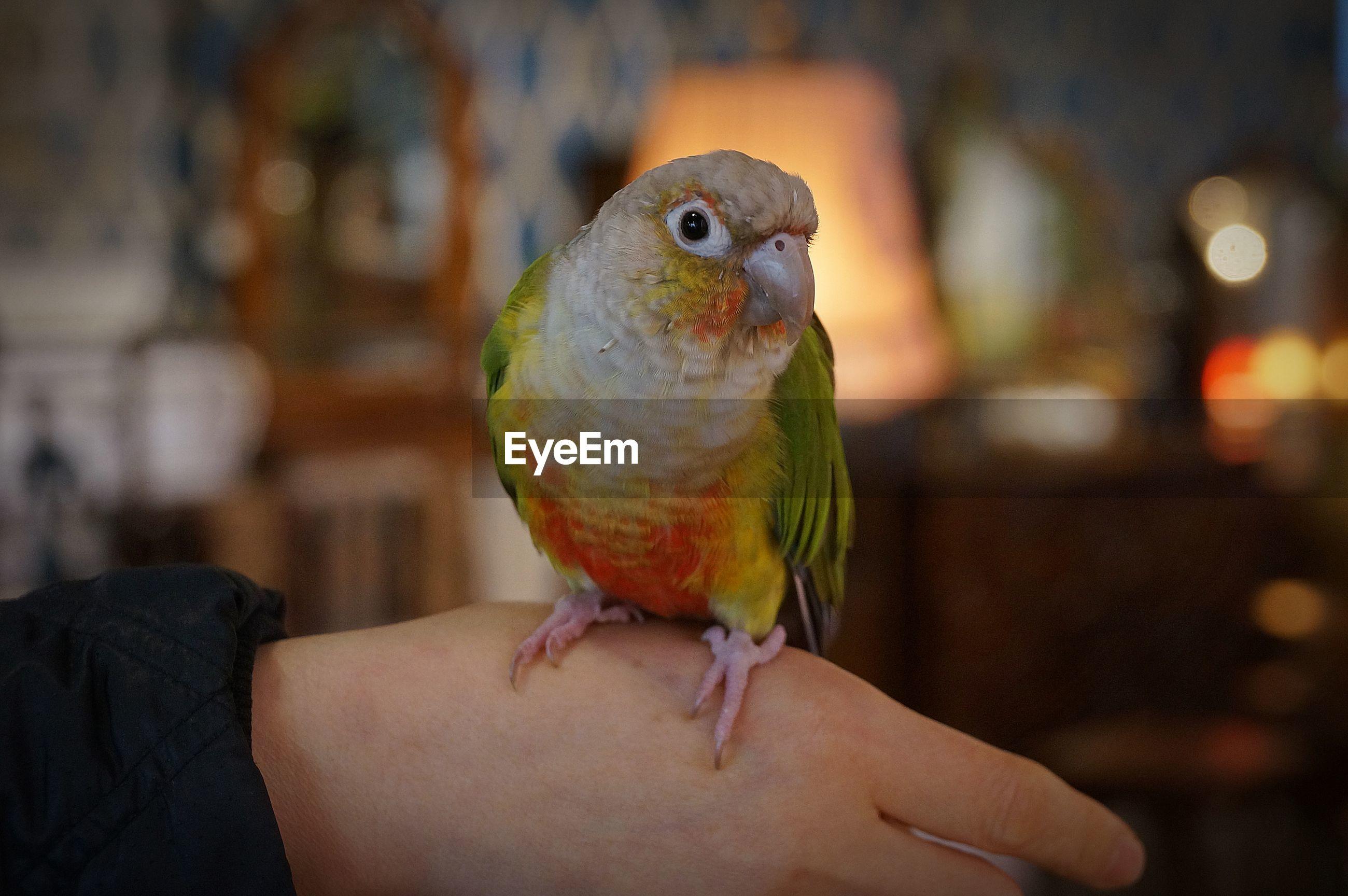 CLOSE-UP OF A HAND HOLDING BIRD