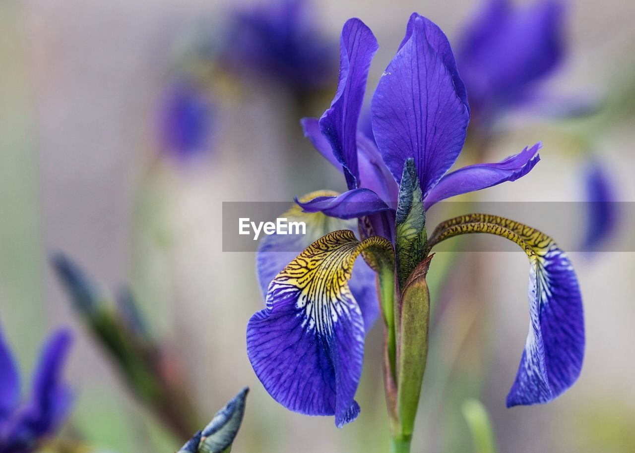 flowering plant, flower, vulnerability, fragility, plant, purple, beauty in nature, petal, growth, close-up, freshness, flower head, focus on foreground, inflorescence, iris - plant, nature, blue, no people, day, outdoors, iris
